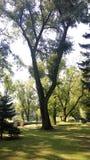 Vecchio albero del parco della città Fotografie Stock Libere da Diritti