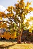 Vecchio albero del pioppo nella caduta al tramonto Fotografia Stock