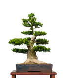 Vecchio albero della casella come bonsai fotografia stock