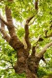 vecchio albero della quercia Fotografia Stock Libera da Diritti