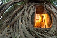 Vecchio albero della radice intorno alla chiesa tailandese antica. fotografia stock libera da diritti