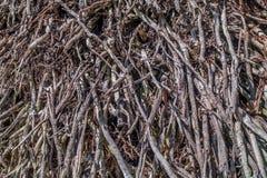 vecchio albero delle radici Fotografie Stock