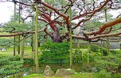 Vecchio albero dentro il giardino di Kenrokuen a Kanazawa, Giappone immagine stock