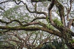 Vecchio albero di betulla con i rami lunghi Fotografie Stock