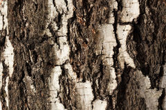 Vecchio albero di betulla della corteccia Fotografie Stock