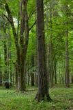 Vecchio albero di betulla in priorità alta e nel mazzo di quercia Immagini Stock