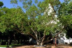 Vecchio albero di Bohhi a Suphanburi - la Tailandia 3 Fotografia Stock Libera da Diritti