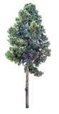 Vecchio albero di cipresso isolato Fotografia Stock Libera da Diritti