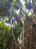 Vecchio albero di faggio Fotografie Stock