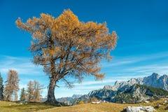 Vecchio albero di larice solo, panorama delle montagne Immagine Stock