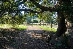 Vecchio albero di leccio che allunga i suoi rami sopra una traccia di camminata fotografia stock libera da diritti