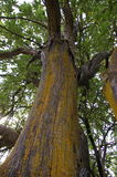 Vecchio albero di locusta con con il lichene Immagine Stock Libera da Diritti