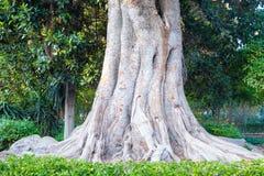 Vecchio albero di olmo Fotografia Stock Libera da Diritti