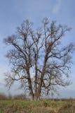 Vecchio albero di olmo in Covasna, la Transilvania Fotografie Stock