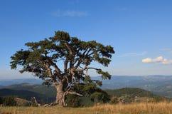 Vecchio albero di pino Fotografia Stock