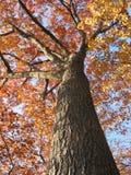 Vecchio albero di quercia nella caduta 1 Fotografie Stock Libere da Diritti
