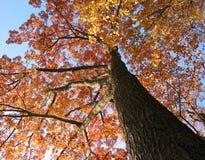 Vecchio albero di quercia nella caduta Fotografia Stock Libera da Diritti