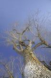 Vecchio albero durante l'inverno Fotografia Stock Libera da Diritti