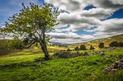 Vecchio albero estivo e rovine della fattoria di Glenfenzie in Scozia Fotografia Stock