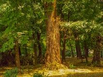 Vecchio albero in foresta Fotografia Stock Libera da Diritti