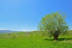 Vecchio albero fra il prato verde Fotografia Stock