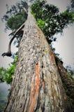 Vecchio albero gigante Immagine Stock