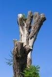 Vecchio albero grigio guasto fotografie stock