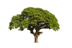 Vecchio albero isolato con la foglia verde su fondo bianco Fotografia Stock Libera da Diritti