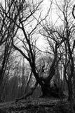 Vecchio albero morto in una collina della foresta fotografia stock
