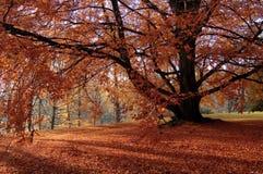Vecchio albero nel colore rosso Immagini Stock Libere da Diritti