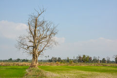 Vecchio albero nel termine di autunno senza le foglie Immagini Stock
