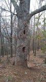 Vecchio albero nella foresta della montagna di Kennesaw Fotografie Stock Libere da Diritti
