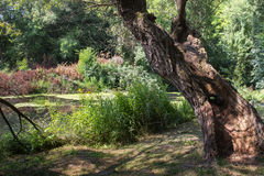 Vecchio albero nella natura selvaggia Fotografie Stock