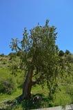 Vecchio albero nelle montagne Fotografia Stock