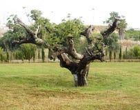 Vecchio albero nodoso Fotografia Stock Libera da Diritti