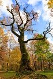 Vecchio albero nudo alto in un parco variopinto di autunno Immagini Stock Libere da Diritti