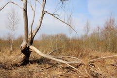 Vecchio albero rotto asciutto fotografia stock libera da diritti