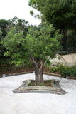 Vecchio albero in salvatori di San di rovina della chiesa Immagini Stock