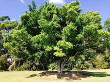 Vecchio albero, Sat in mezzo al parco Queensland, Australia Immagini Stock Libere da Diritti