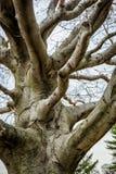 Vecchio albero sterile Gnarly Fotografia Stock