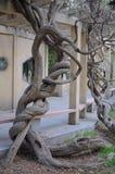 Vecchio albero torto dei rami immagini stock libere da diritti