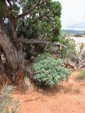 Vecchio albero torto in deserto Fotografia Stock