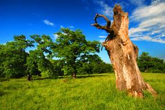 Vecchio albero in un pascolo fotografia stock