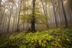 Vecchio albero in una bella foresta in autunno fotografia stock