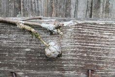 Vecchio ammuffito ed il lichene hanno riguardato i rami di melo Fotografie Stock
