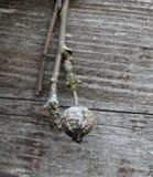 Vecchio ammuffito ed il lichene hanno riguardato i rami di melo Immagine Stock Libera da Diritti