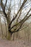 Vecchio bello albero da una Fatato-coda Immagini Stock
