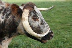 Vecchio bestiame lungo inglese di Horn Immagine Stock Libera da Diritti
