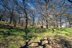 Vecchio boschetto della quercia a primavera immagini stock libere da diritti