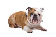 Vecchio bulldog inglese Fotografie Stock Libere da Diritti
